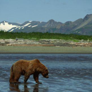 photo of a bear walking